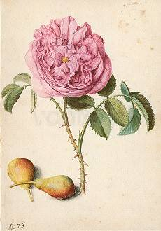 Rose and two Pears